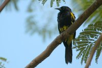 Greater Antillean Oriole - Icterus dominicensis