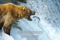 ...Brown bear [Ursus arctos ) trying to catch salmons , Brooks River , Brooks Falls , Katmai Nation