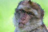 barbary ape portrait ( Macaca sylvanus ) stock photo