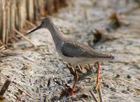 Red Shank Tringa totanus 붉은발도요