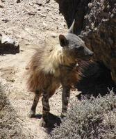 Photo of a Brown Hyena