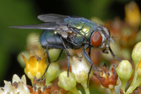 : Lucilia sericata; Green-bottle Fly