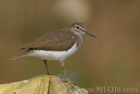Common Sandpiper 磯鷸
