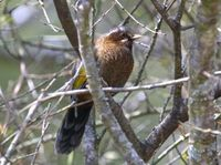 タイワンキンバネガビチョウ White-whiskered Laughingthrush Garrulax morrisonianus