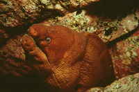 Gymnothorax unicolor, Brown moray: fisheries, gamefish