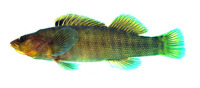 Etheostoma acuticeps, Sharphead darter: