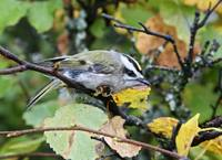 Regulus satrapa - Golden-crowned Kinglet