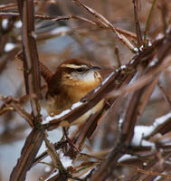 Image of: Thryothorus ludovicianus (Carolina wren)