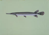 Image of: Lepisosteus platostomus (shortnose gar)