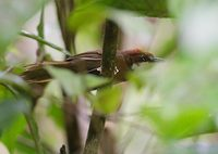 White-throated Oxylabes (Oxylabes madagascariensis) photo