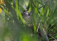 Crossley's Babbler (Mystacornis crossleyi) photo