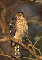 Sharp-shinned Hawk (Accipiter striatus) photo