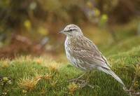 Australiasian (New Zealand) Pipit (Anthus novaeseelandiae) photo
