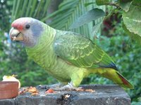 Red-tailed Parrot - Amazona brasiliensis