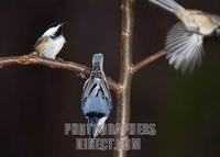 Black capped chickadees and white breasted nuthatch on tree branch stock photo