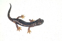 : Hydromantes ambrosii; French Cave Salamander