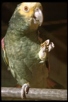 : Amazona ochrocephala; Yellow-crowned Parrot