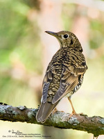 Scaly Ground-Thrush Scientific name - Zootera dauma