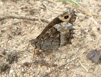 Hipparchia fagi - Woodland Grayling
