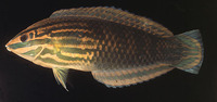 Halichoeres biocellatus, Red-lined wrasse: aquarium