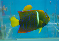 Holacanthus passer, King angelfish: fisheries, aquarium