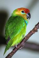 Psittaculirostris desmarestii - Large Fig-Parrot