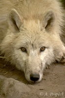 Canis lupus occidentalis - Northern Gray Wolf