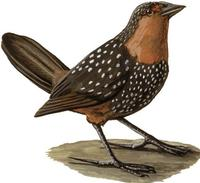 Image of: Acropternis orthonyx (ocellated tapaculo)
