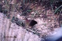 Yellow-legged Buttonquail - Turnix tanki