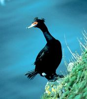 Red-faced Cormorant - Phalacrocorax urile
