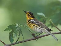 Cape May Warbler (Dendroica tigrina) photo
