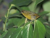 Olive-backed Euphonia (Euphonia gouldi) photo