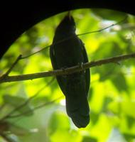 Yellow-billed Nunbird - Monasa flavirostris