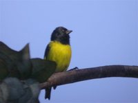 Yellow-bellied Siskin - Carduelis xanthogastra
