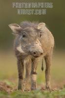 portrait of a warthog piglet stock photo