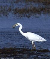 Great White Egret Ardea alba alba