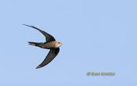Pacific swift C20D 03114.jpg