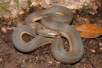 : Regina grahamii; Graham's Crayfish Snake