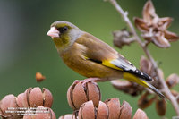 Grey-capped Greenfinch 金翅雀