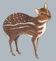 Image of: Hyemoschus aquaticus (water chevrotain)