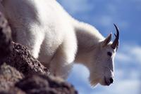 Image of: Oreamnos americanus (mountain goat)