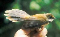 Tawny-backed Fantail - Rhipidura superflua