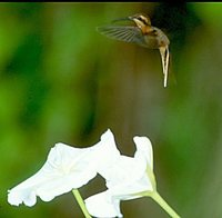 Cinnamon-throated Hermit - Phaethornis nattereri