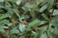Spectacled Monarch - Monarcha trivirgatus