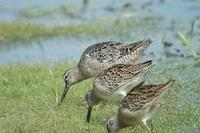 [Long-billed Dowitcher, adult well along to winter plumage, with two juvenile Short-billeds in f...