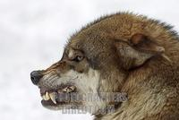 a growling european wolf in winter ( Canis lupus lupus ) stock photo