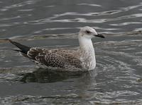 Lesser Black-backed Gull (Larus fuscus), 1K