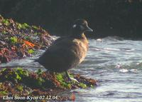 Fig. 8. Harlequin Duck : 흰줄박이오리
