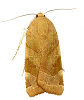 Noctua fimbriata - Broad-bordered Yellow Underwing