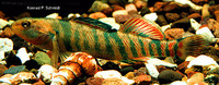 Etheostoma caeruleum, Rainbow darter: